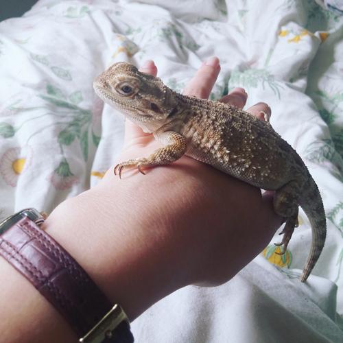 lize-web-lizard