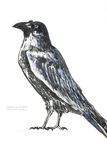 Corvus Corax: Common Raven