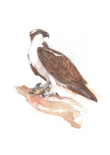 JP osprey