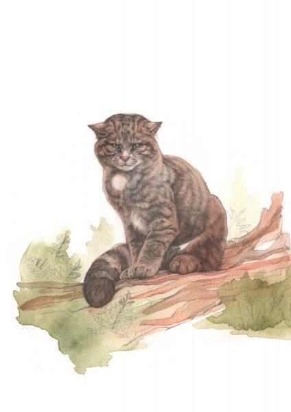 JP wildcat