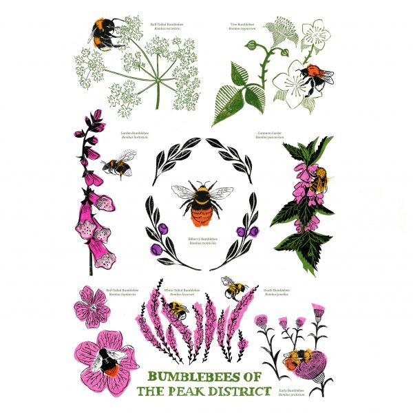 Bumblebees of the Peak District (Bumblebee Conservation Trust)