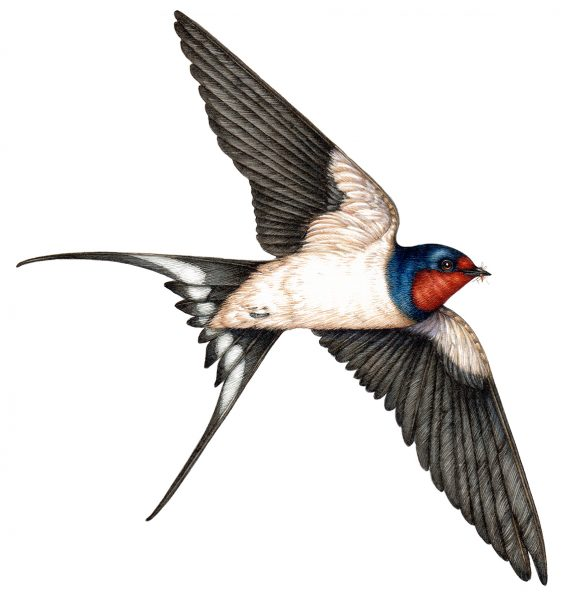 Barn Swallow Hirundo rustica from below natural history illustration by Lizzie Harper