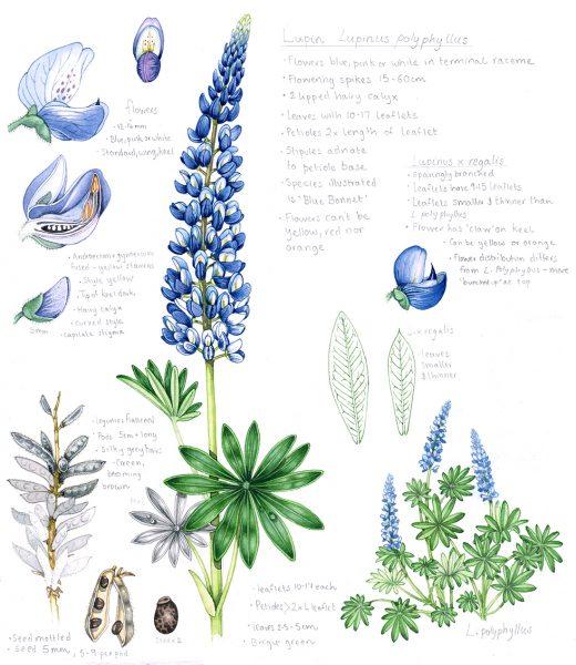 Blue bonnet Lupin Lupinus polyphyllus sketchbook study page and habit sketch by Botanical illustrator Lizzie Harper