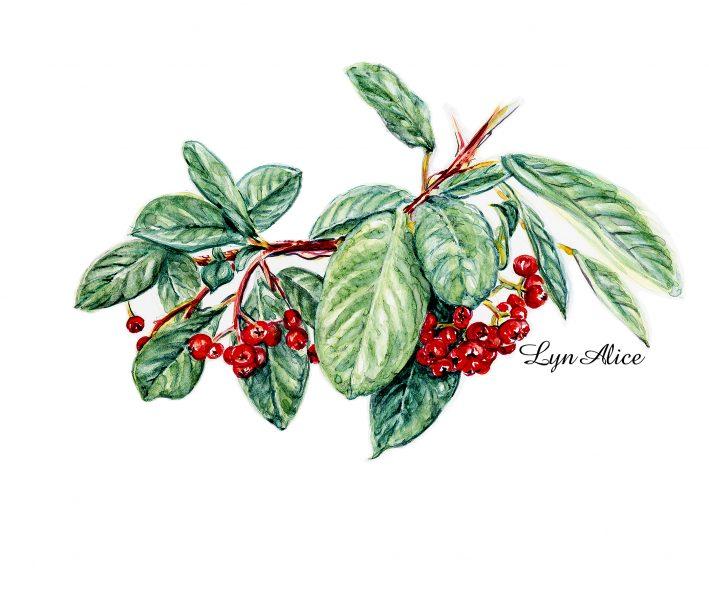 Cotoneaster ~ Watercolor
