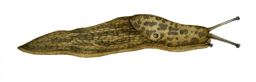 Green cellar slug Limacus maculatus