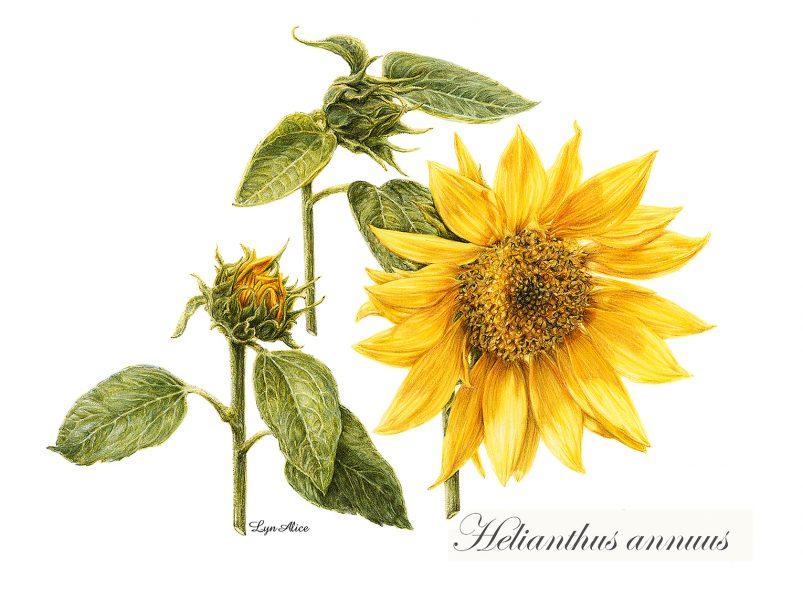 Helianthus annuus ~ Watercolor, Denver Botanical Gardens