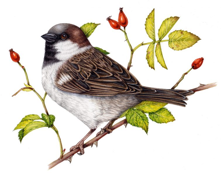 House sparrow Passer domesticus by Lizzie Harper Botanical Natural History illustrator