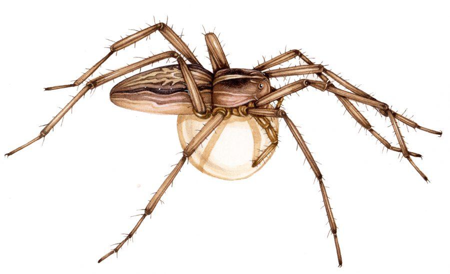 Nursery web spider Pisaura mirabilis