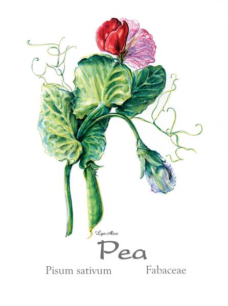 Botanical Book Illustration, Pea ~ Watercolor