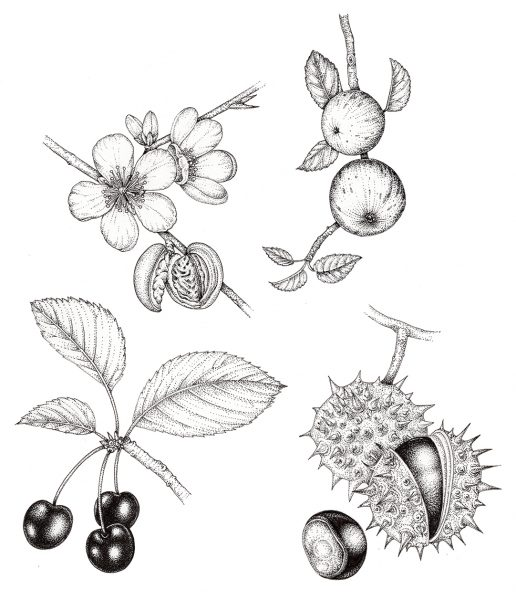 Pen and ink Botanical illustrations from The Living Wisdom of Trees