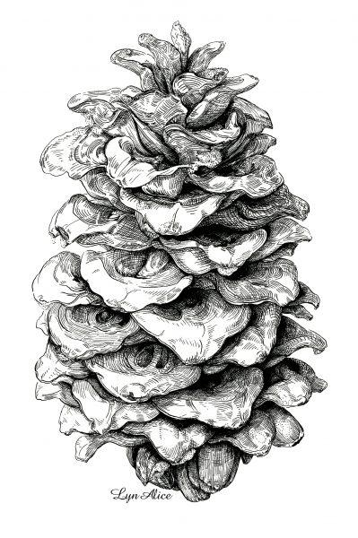 Pinus ponderosa ~ Quill & Ink