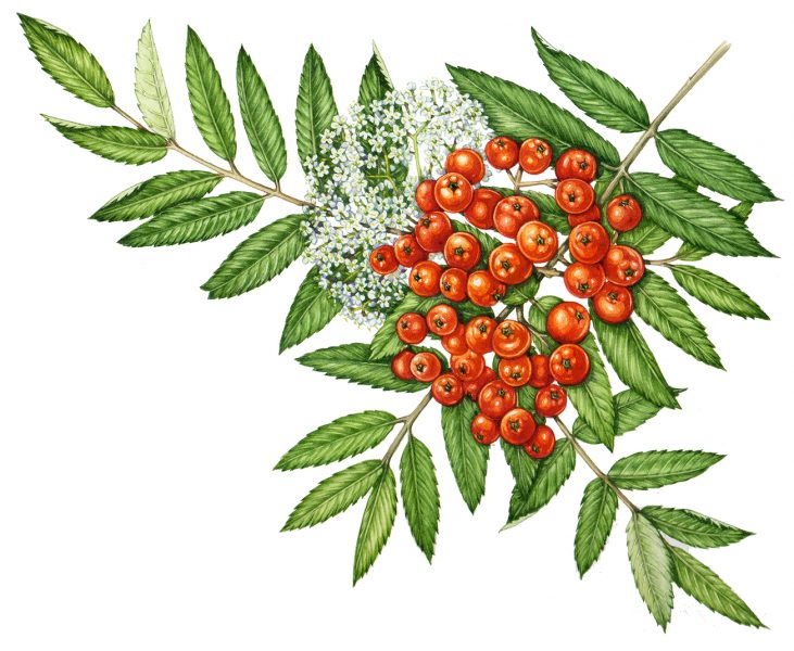 Rowan Sorbus aucuparia sprig with berries and blossom by Lizzie Harper botanical illustrator