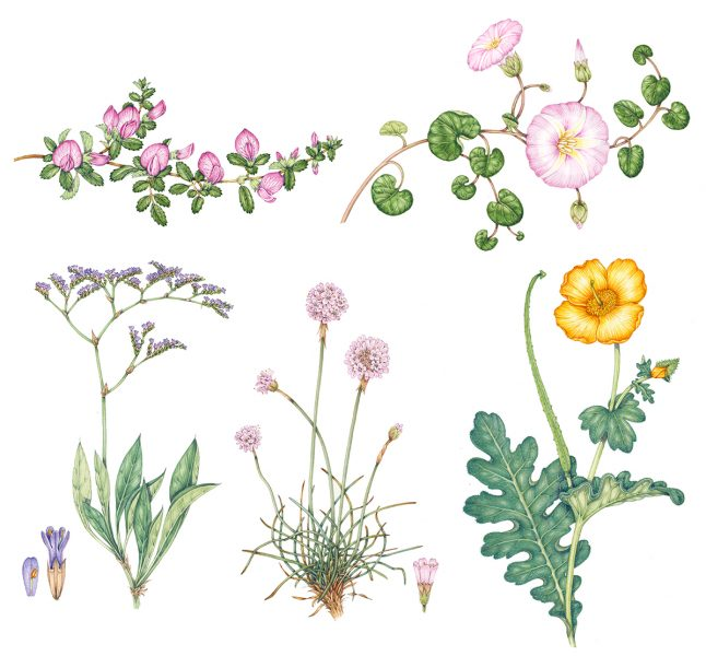 Seaside Flowers for identification chart botanical illustrations by Lizzie Harper