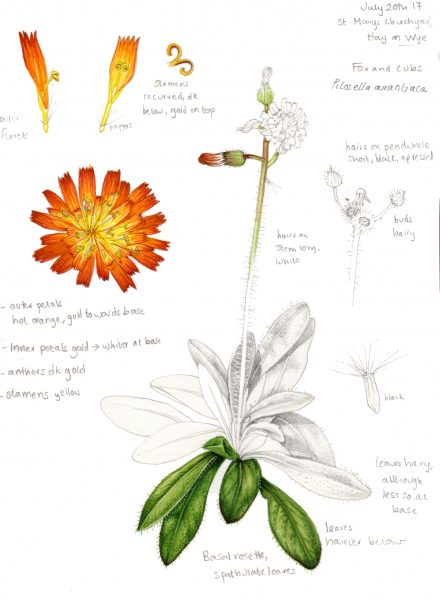 Sketchbook study Fox and Cubs Pilosella aurantiaca