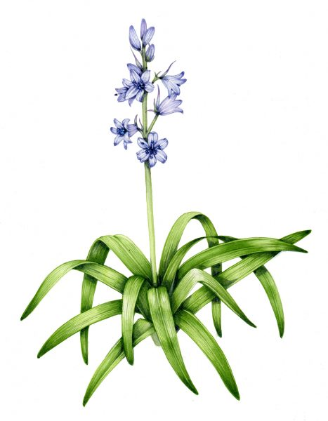 Spanish bluebell Hyacinthoides hispanica final