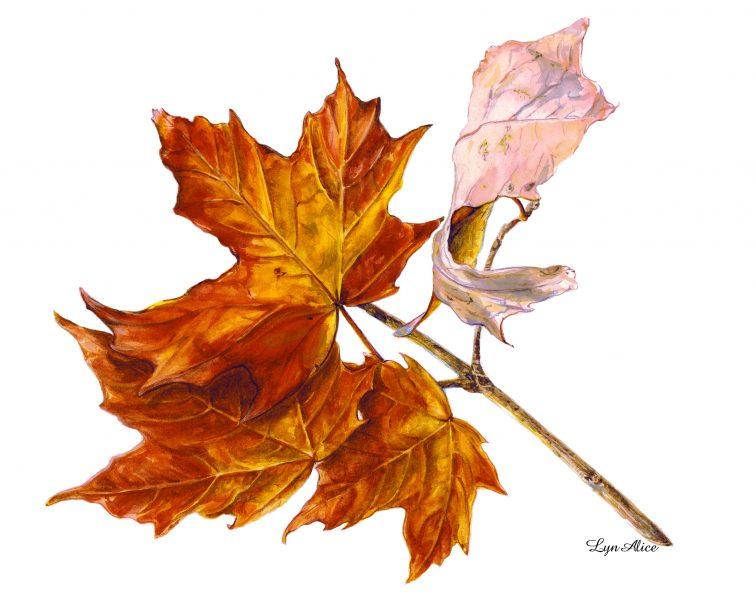 Acer saccharum, Sugar Maple ~ Watercolor, Denver Botanical Gardens