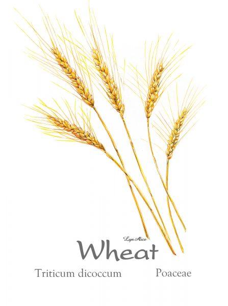Wheat ~ Watercolor