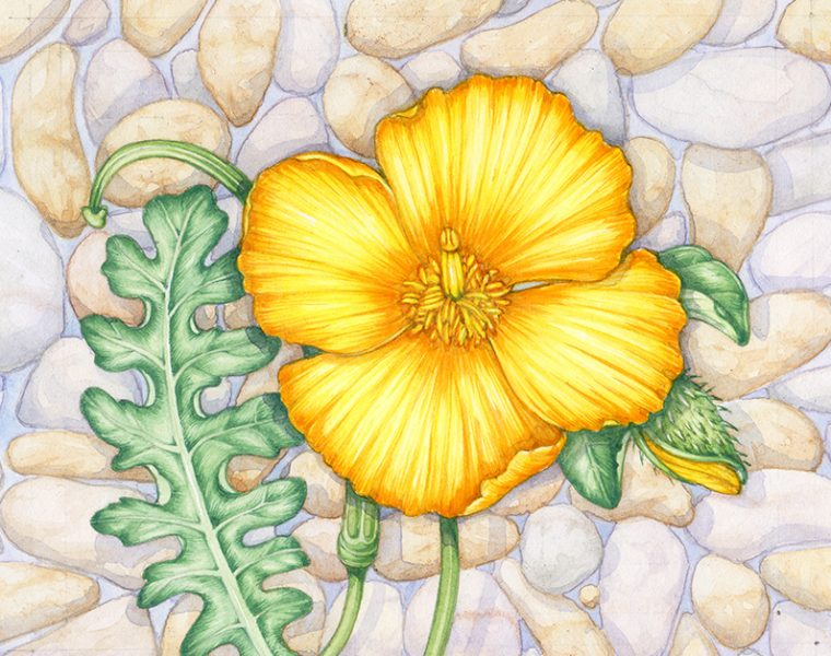 Yellow horned Poppy Glaucium flavum botanical illustration by Lizzie Harper copyright Jersey Stamps 2020