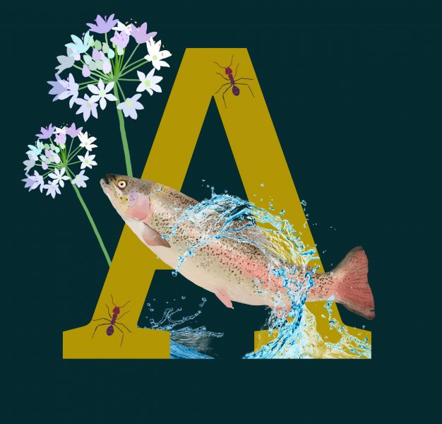 A for Atlantic Salmon
