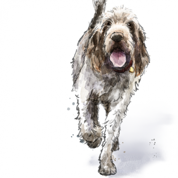 Rico the Spinone