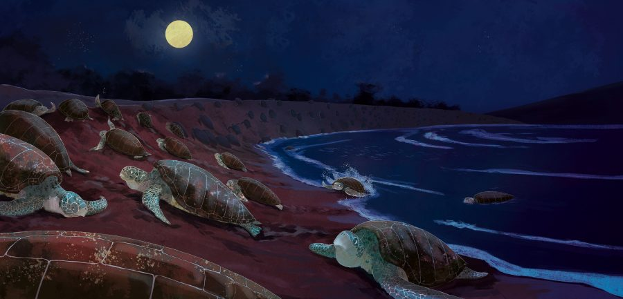 Olive-Ridley sea turtles come ashore to nest