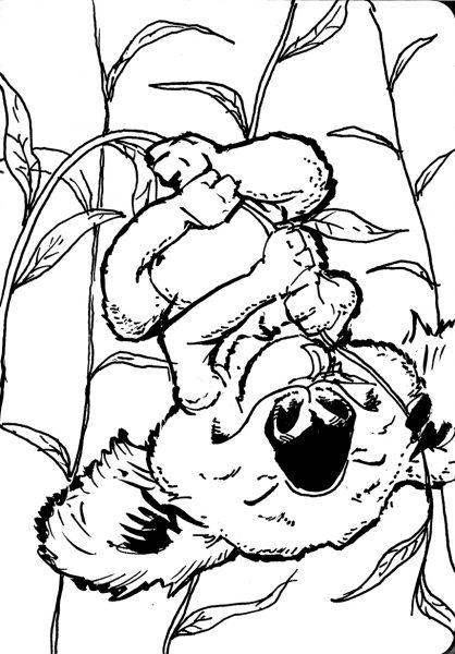 Loala Bear eating leaves