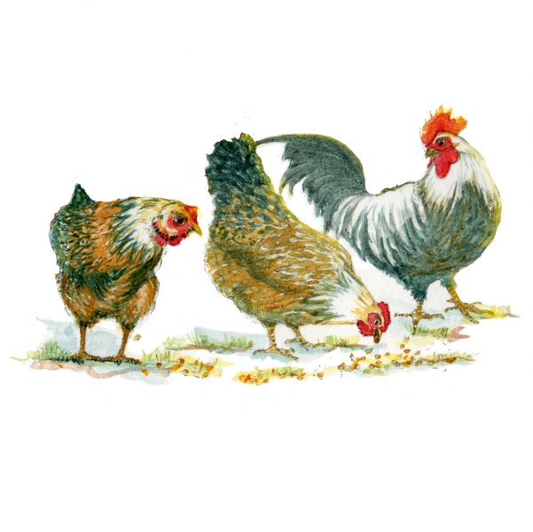 Storytelling_Chickens-watercolour