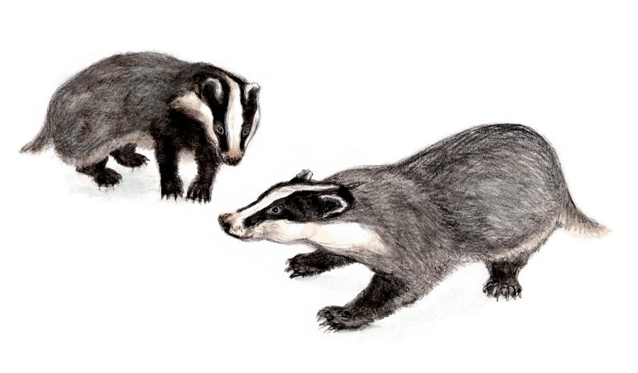 Badger vignette