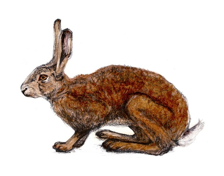 Brown hare vignette