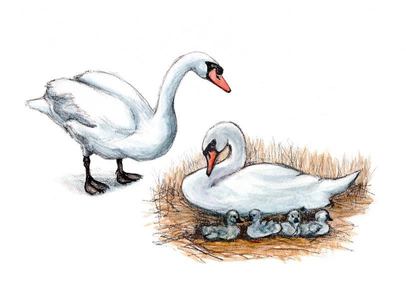 swans-vignette