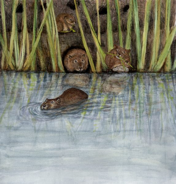 watervoles peer up at unseen character while hiding in the reeds