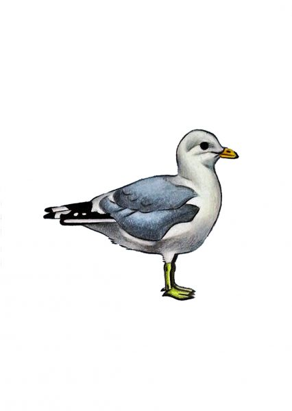 Seabirds of Eastbourne: Common Gull
