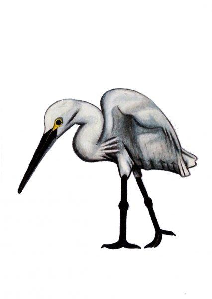 Seabirds of Eastbourne: Little Egret