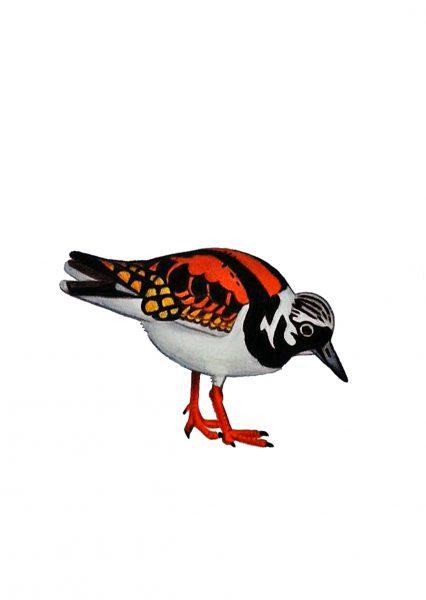 Seabirds of Eastbourne: Turnstone