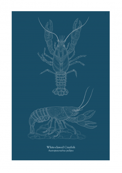 White-clawed Crayfish plate