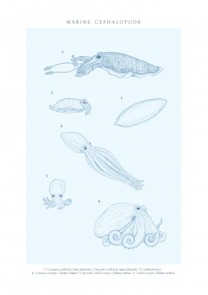 Marine Cephalopods