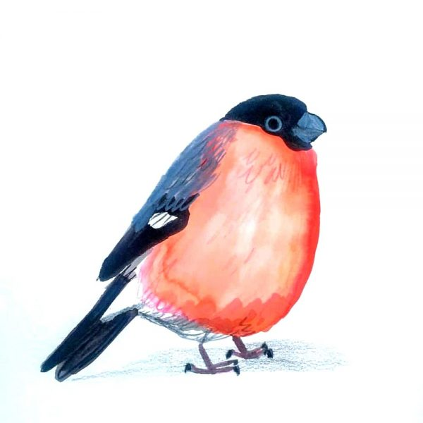 Bullfinch_Sarah Edmonds
