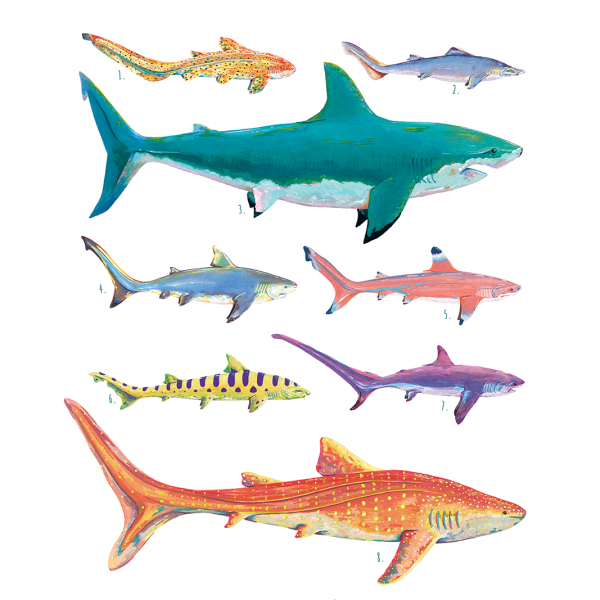 Shark Illustration Taxonomy