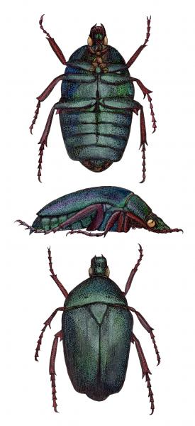 Chafer Beetle Study