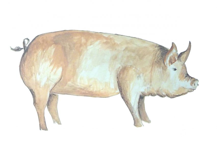 Milly England Pig