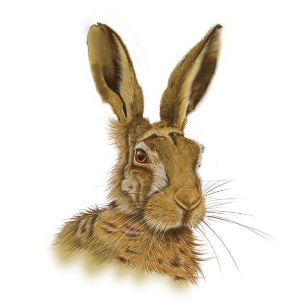 Brown-hare-Drawing