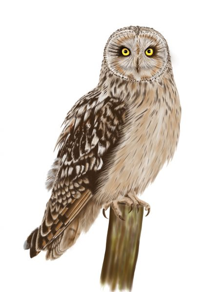 Short-eared-owl-Drawing