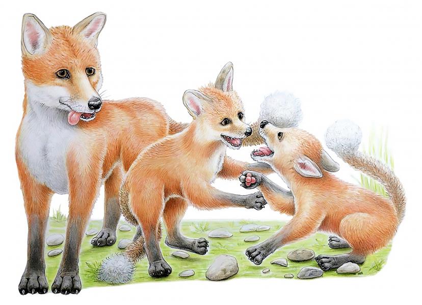 FOX +CUBS