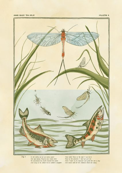 The lifecycle of a mayfly