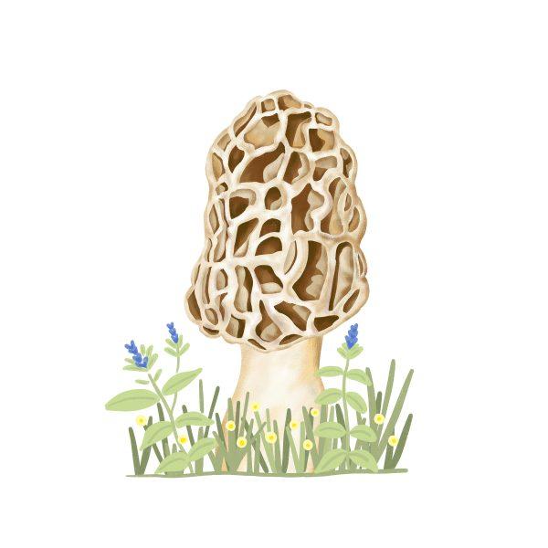 Morels Mushroom