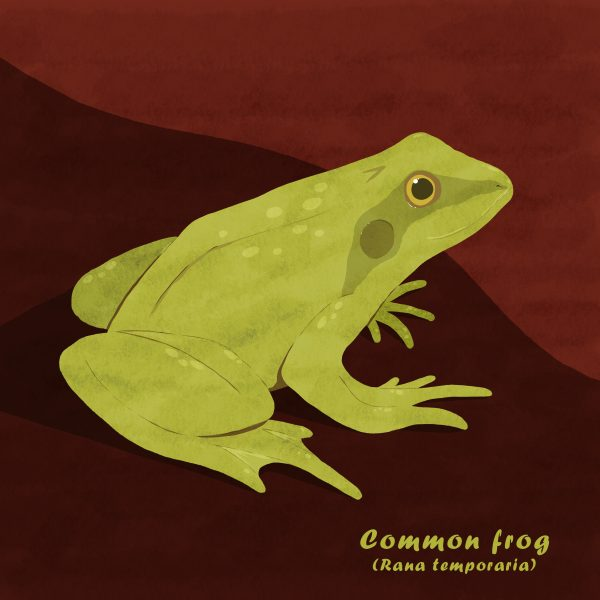 common frog illustration
