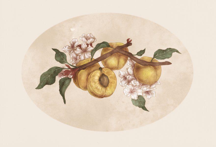 Apricot (prunus armeniaca)