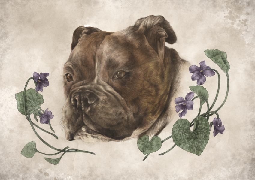 Lola the Staffy Bull Terrier X