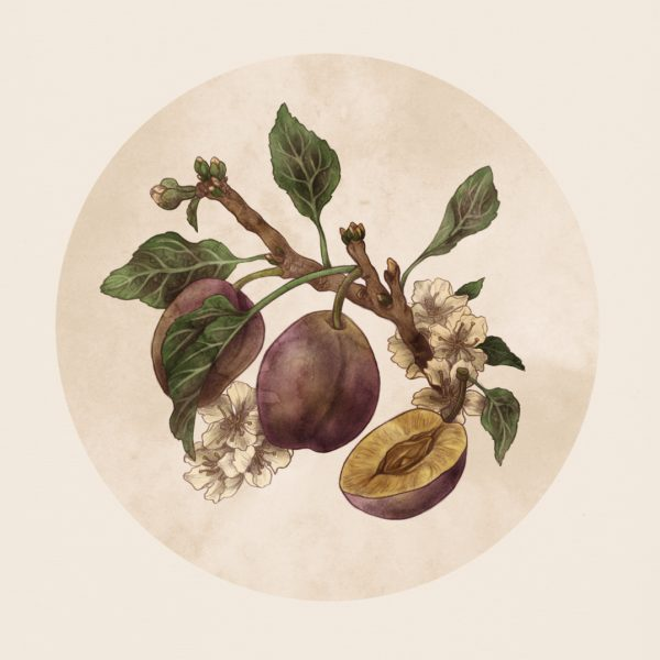Common Plum (prunus domestica)