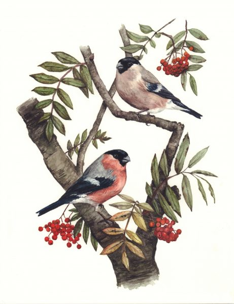 Bullfinch-Pair